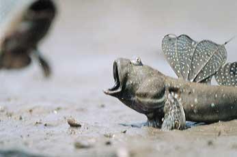 ムツゴロウの画像 p1_26